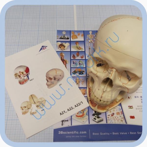 Модель черепа A22 классическая 3B Scientific  Вид 1