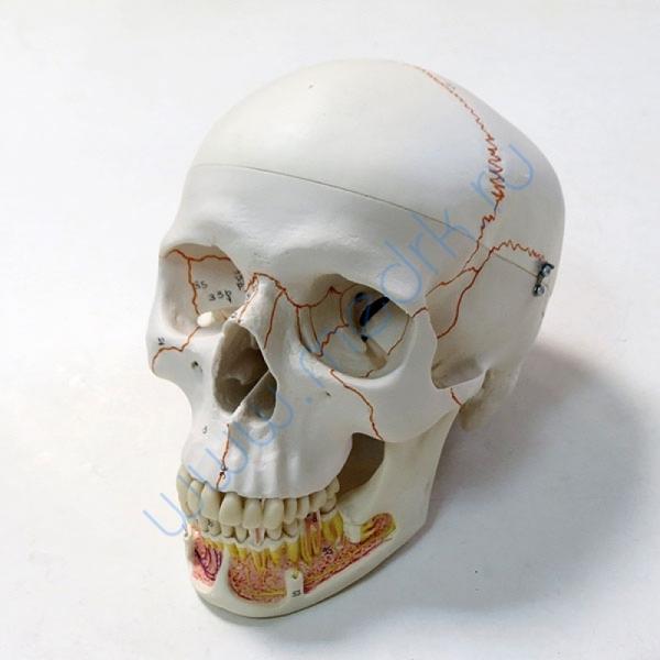 Модель черепа A22 классическая 3B Scientific  Вид 2