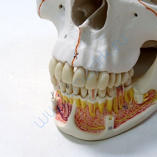 Модель черепа A22 классическая 3B Scientific  Вид 3