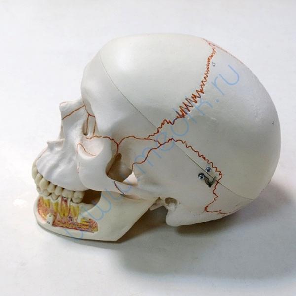 Модель черепа A22 классическая 3B Scientific  Вид 4