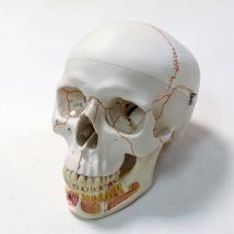 Модель черепа A22 классическая 3B Scientific
