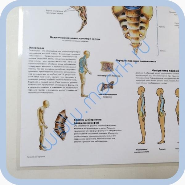 Плакат Позвоночный столб ламинированный 3B Scientific  Вид 3