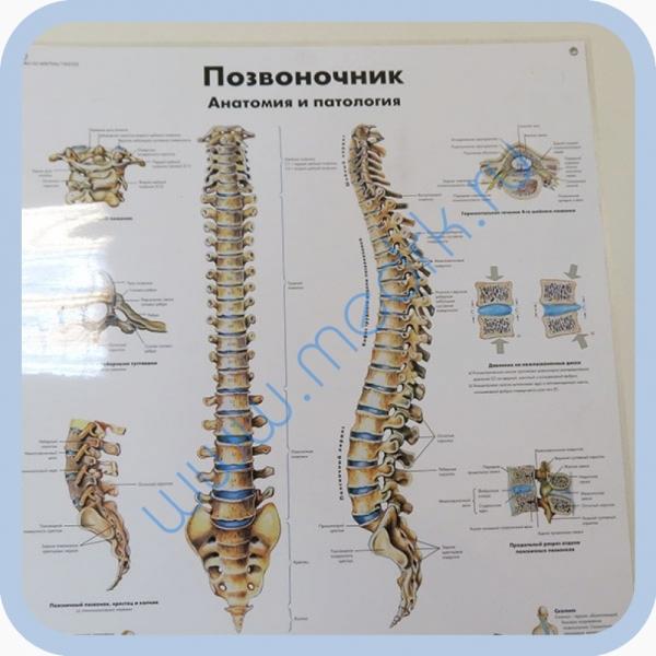 Плакат Позвоночный столб ламинированный 3B Scientific  Вид 5