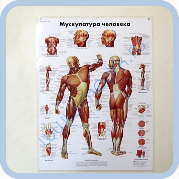 Плакат Мускулатура человека ламинированный 3B Scientific