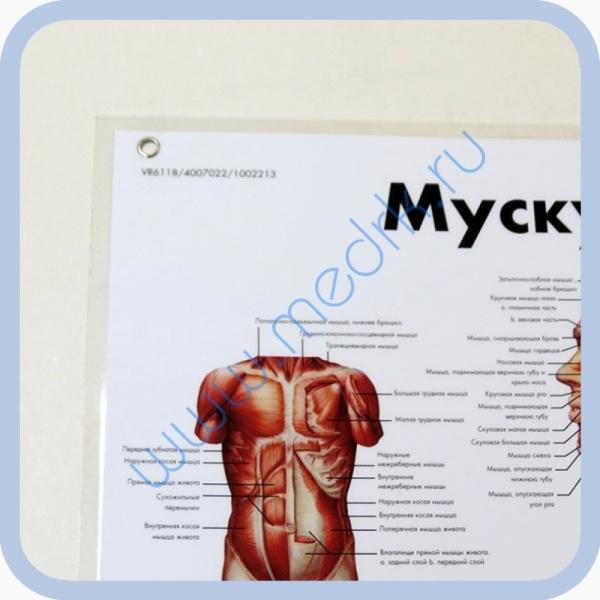 Плакат Мускулатура человека ламинированный 3B Scientific  Вид 1