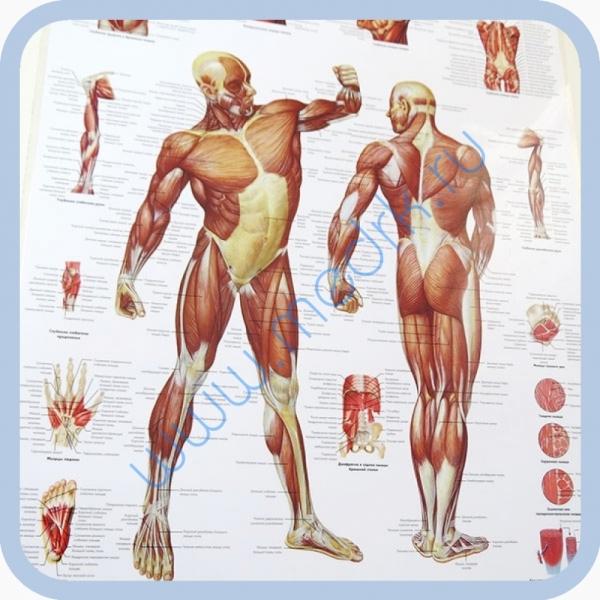 Плакат Мускулатура человека ламинированный 3B Scientific  Вид 2