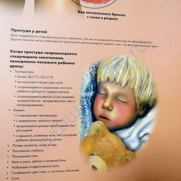 Плакат Инфекции дыхательных путей ламинированный, 3B Scientific  Вид 3