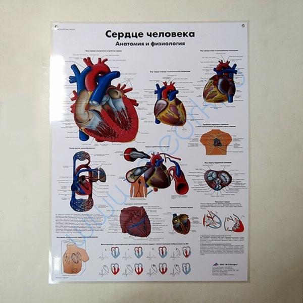 Плакат Сердце человека ламинированный  Вид 1