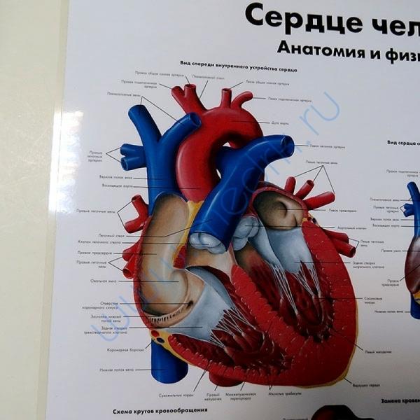 Плакат Сердце человека ламинированный  Вид 3