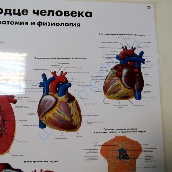 Плакат Сердце человека ламинированный  Вид 4