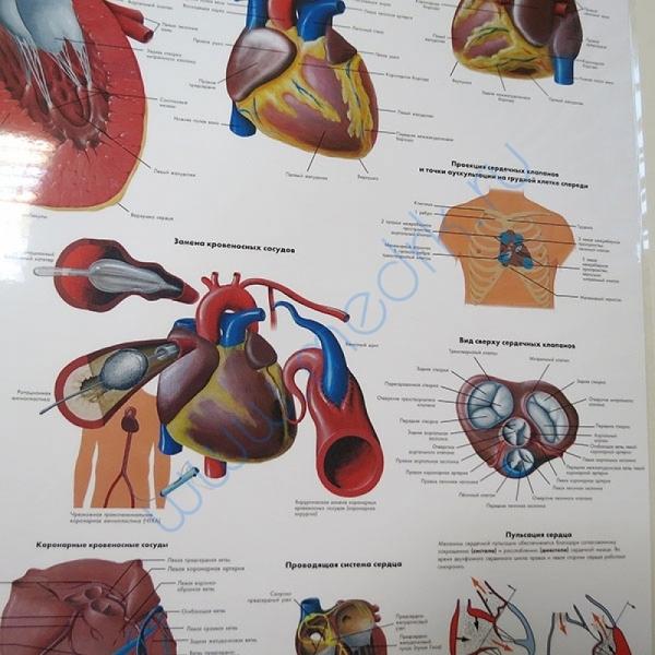 Плакат Сердце человека ламинированный  Вид 5