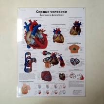 Плакат Сердце человека ламинированный