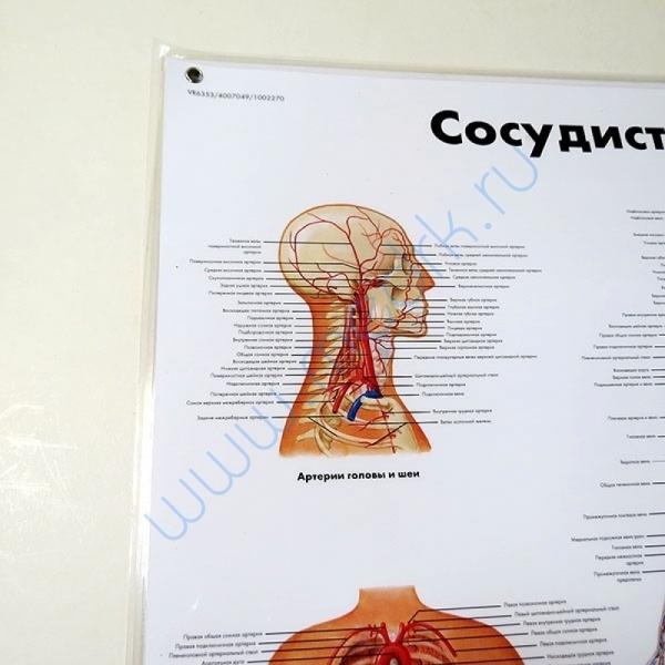 Плакат Сосудистая система ламинированный,   Вид 2
