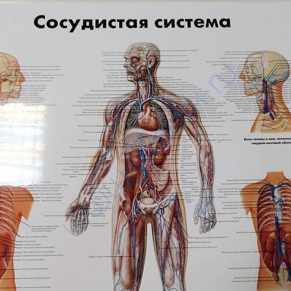 Плакат Сосудистая система ламинированный,   Вид 3