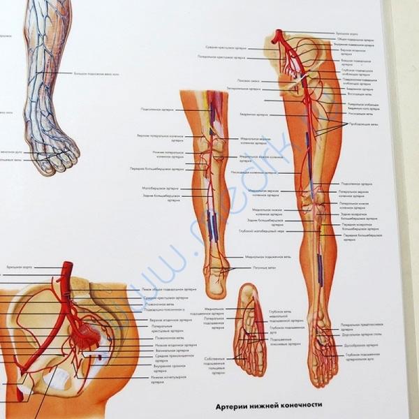 Плакат Сосудистая система ламинированный,   Вид 4