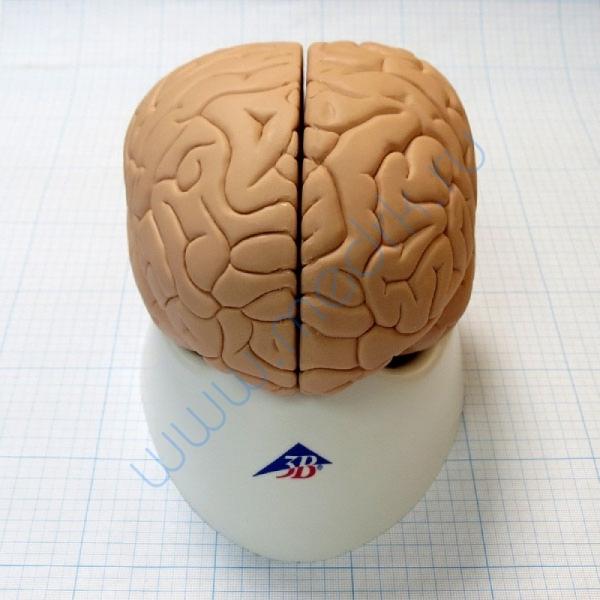 Модель мозга для начального изучения C15/1