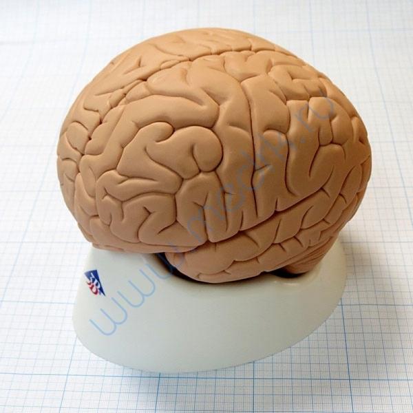 Модель мозга для начального изучения C15/1  Вид 1