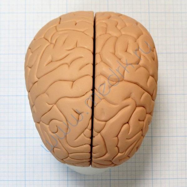 Модель мозга для начального изучения C15/1  Вид 2
