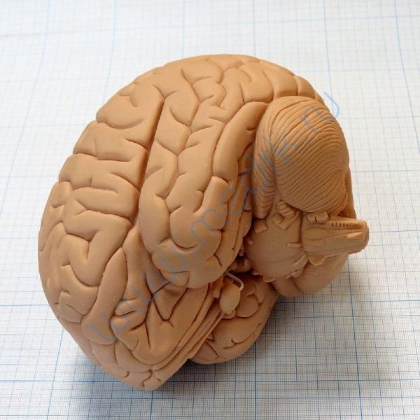 Модель мозга для начального изучения C15/1  Вид 4