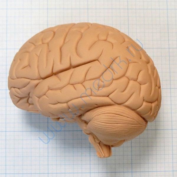 Модель мозга для начального изучения C15/1  Вид 5