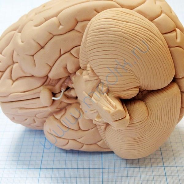Модель мозга для начального изучения C15/1  Вид 6