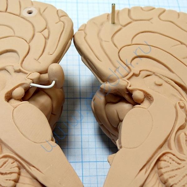 Модель мозга для начального изучения C15/1  Вид 8
