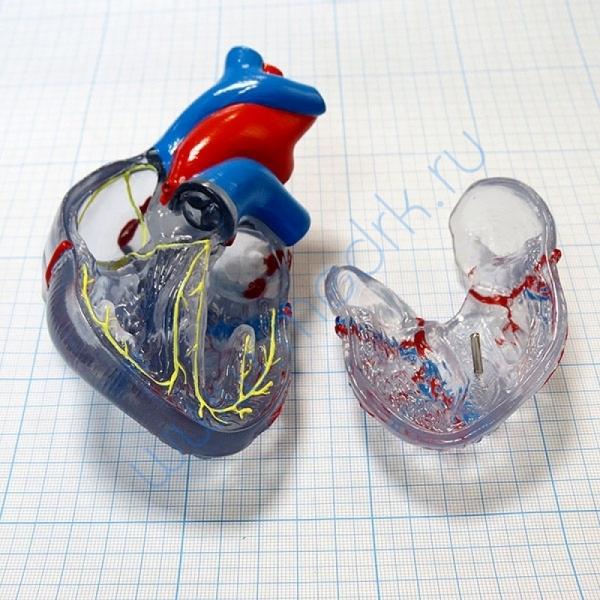 Модель сердца классическая с проводящей системой, G08/3  Вид 3
