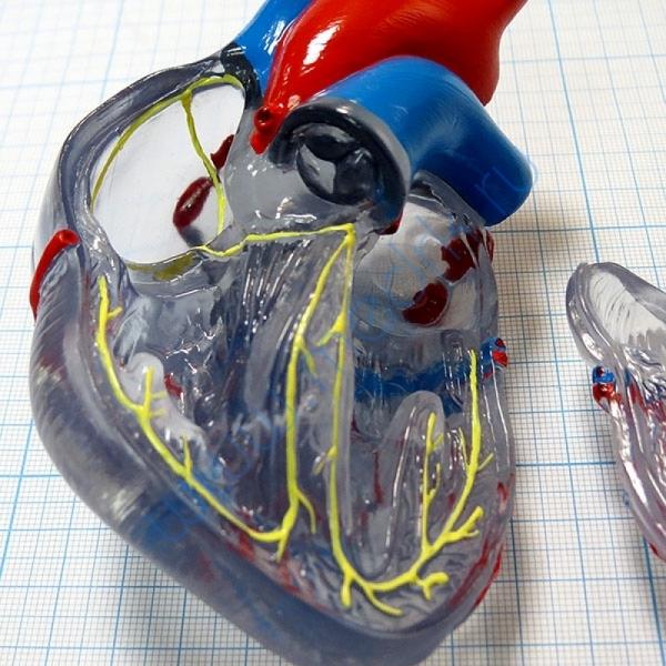 Модель сердца классическая с проводящей системой, G08/3  Вид 4