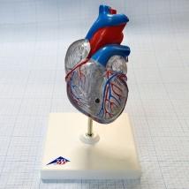 Модель сердца классическая с проводящей системой, G08/3