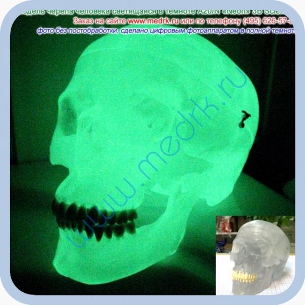 Модель черепа светящаяся A20/N «Неон» 3B Scientific