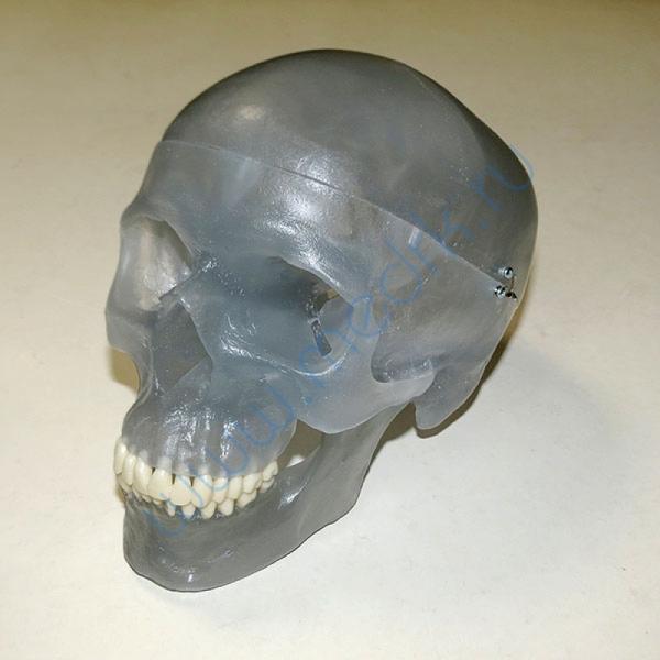 Модель черепа светящаяся A20/N «Неон» 3B Scientific  Вид 4
