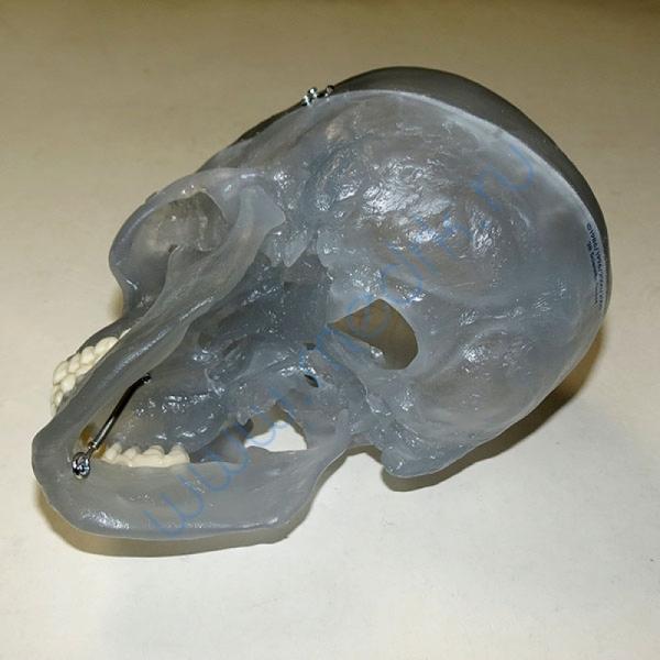 Модель черепа светящаяся A20/N «Неон» 3B Scientific  Вид 5