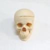 Модель черепа смонтированная