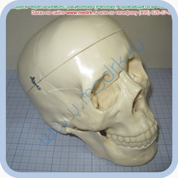 Фантом черепа учебный (модель, макет)