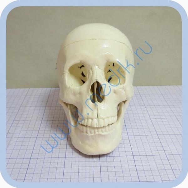 Фантом черепа учебный (модель, макет)  Вид 2