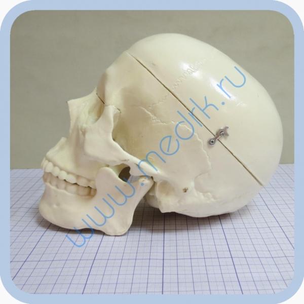 Фантом черепа учебный (модель, макет)  Вид 3