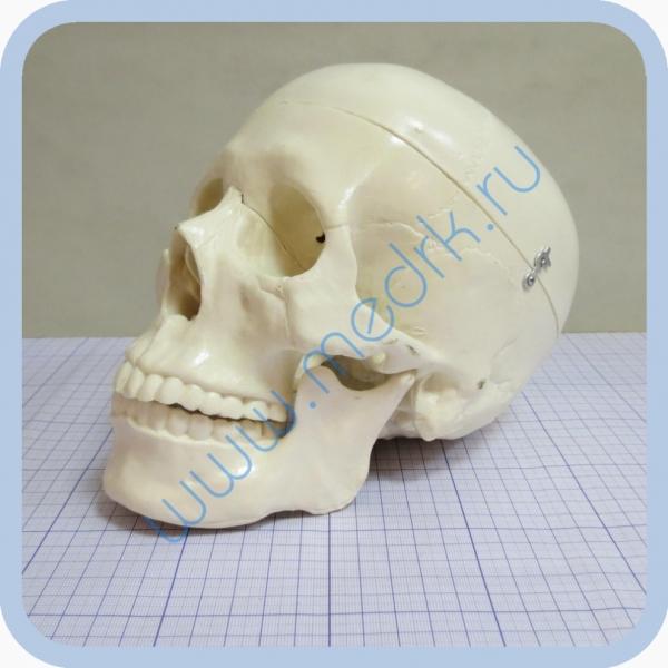 Фантом черепа учебный (модель, макет)  Вид 4