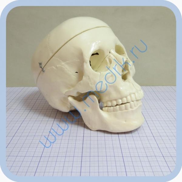 Фантом черепа учебный (модель, макет)  Вид 6